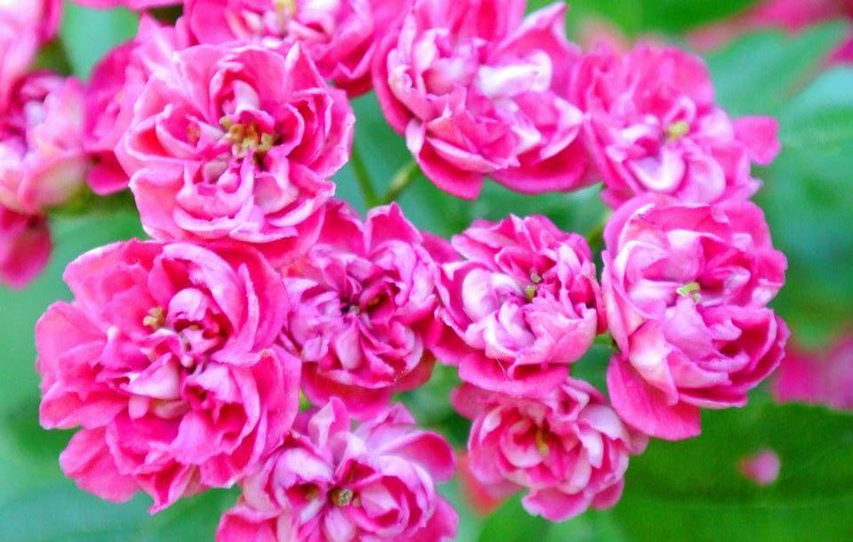 цветы в Риге, Photo by Elena Tonova 3