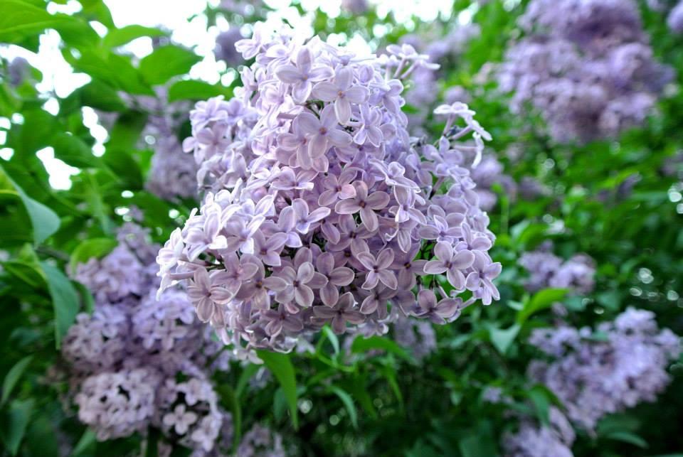 цветы в Риге, Photo by Elena Tonova 6