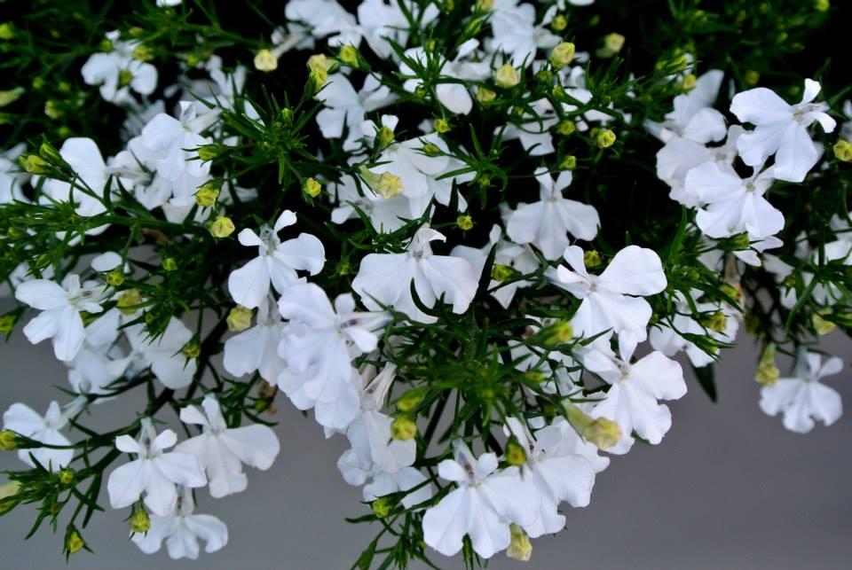цветы в Риге, Photo by Elena Tonova 9